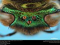 Eyes and ocelli of an orchid bee (Apidae, Euglossa hansoni (Moure)) (36522833083).jpg