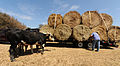 FEMA - 38642 - Cattle displaced by Hurricane Ike get fresh hay.jpg