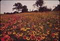 FIELD OF FLOWERS - NARA - 544574.tif