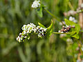 Fagopyrum esculentum-IMG 9265.jpg