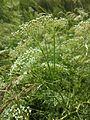 Falcaria vulgaris sl7.jpg