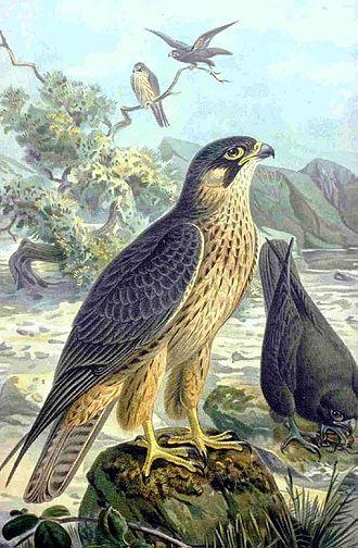 Johann Friedrich Naumann - Image: Falco eleonorae NAUMANN