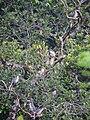 Family of Sri Lanka grey hornbills.jpg