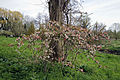 Feeringbury Manor flowering prunus, Feering Essex England 02.jpg
