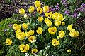 Feeringbury Manor yellow tulip cultivar, Feering Essex England 1.jpg