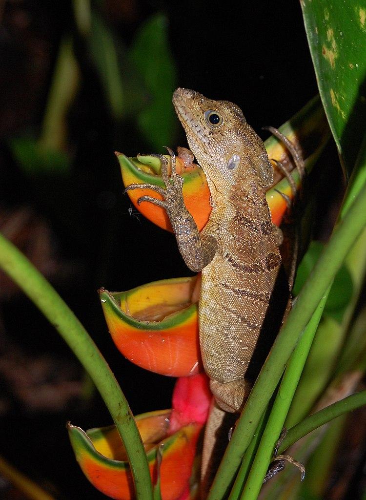Px Female Common Basilisk C Costa Rica