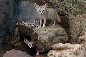 Fennec Fox Family.jpg