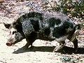Feral pig.jpg
