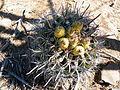 Ferocactus peninsulae ssp. townsendianus (5761731263).jpg