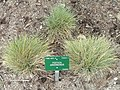 Festuca arvernensis - Copenhagen Botanical Garden - DSC07685.JPG