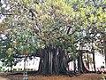 Fico magnolioide di Villa Garibaldi (particolare 2).jpg