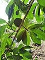Ficus costaricana.jpg