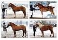 Finnhorse types.jpg