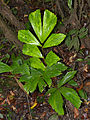 Fishtail Palm (Caryota mitis) young shoot (14963775144).jpg