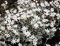 Flannel Flower Henry Head2 email.jpg