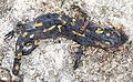 Flat lizard.jpg