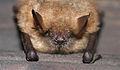 Fledermaus (c)lynn-art.jpg