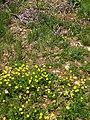 Fleurs des gorges de l'Ardèche 01.jpg