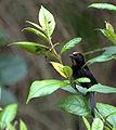 Flickr - Dario Sanches - TIÊ-GALO (Tachyphonus cristatus).jpg