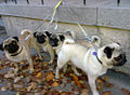 Flickr - Per Ola Wiberg ~ mostly away - a pug family.jpg