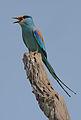 Flickr - Rainbirder - Abyssinian Roller (Coracias abyssinica).jpg