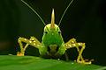 Flickr - ggallice - Conehead katydid portrait.jpg