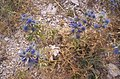 Flora na Pagu - panoramio.jpg