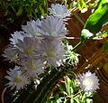 Flores de Equinopsis (cactus).JPG