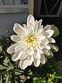 Florist's Daisy.jpg