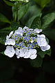 "Flower, Hydrangea ""White wave"" - Flickr - nekonomania.jpg"