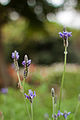 Flower, Lavandula multifida - Flickr - nekonomania.jpg