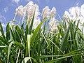 Flower of Sugarcane in Salem.jpg