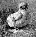 Fluffy Chick Drawing.jpg