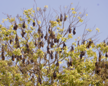 A colony of megabats roosting in a tree during the daytime. They appear as black shapes evenly dispersed throughout the canopy of the tree.