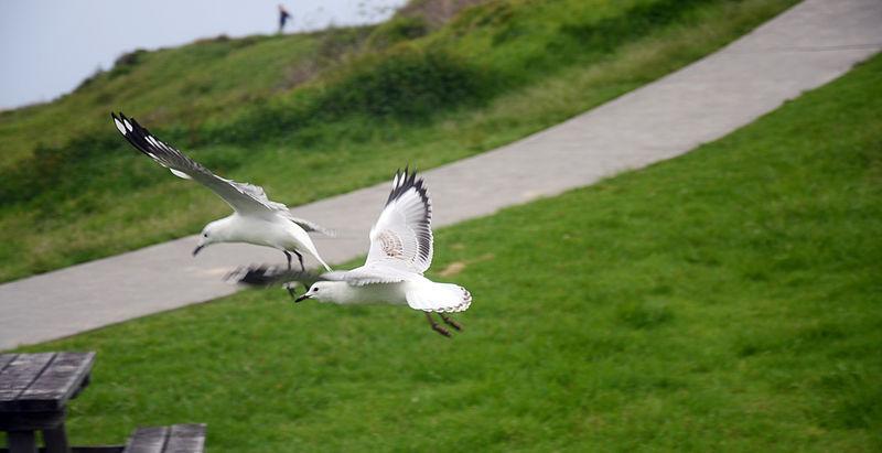 Flying seagulls at Kiama beach during Christmas, Sydney 2013.jpg