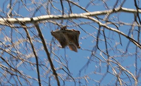 Flying squirrel in a tree