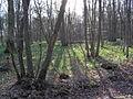Forêt de Sénart - Jonquilles 2.jpg