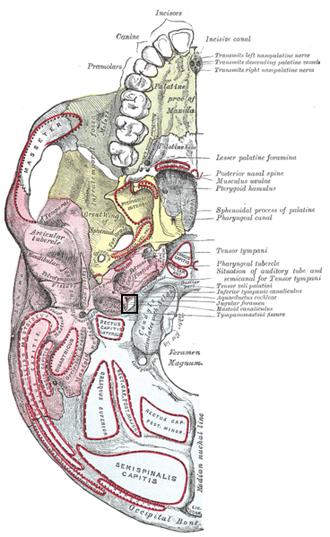 Jugular foramen - Base of skull. Inferior surface. (label for jugular foramen is at right, third from the bottom)