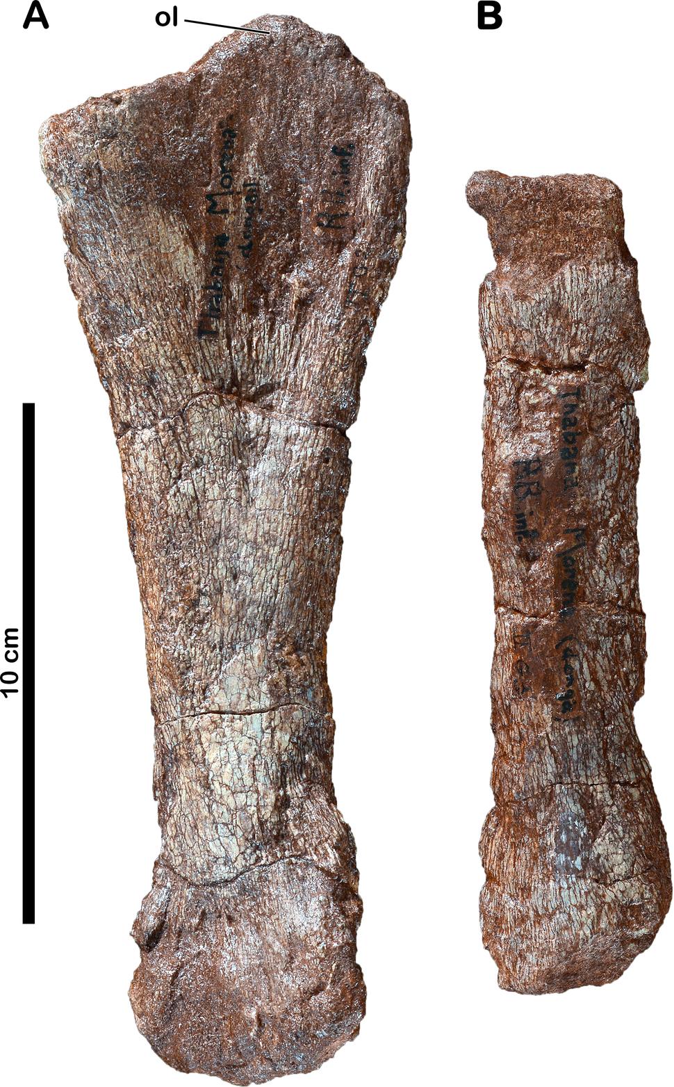 Forelimb bones of Meroktenos