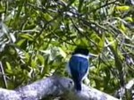 Fil:Forest Kingfisher kobble.ogv