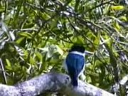 File:Forest Kingfisher kobble.ogv