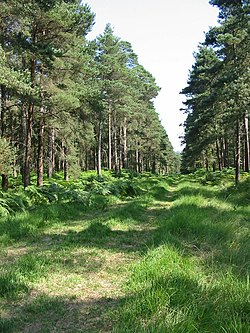 Forest ride Slufters inclosure New Forest Hampshire - geograph.org.uk - 207579.jpg