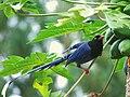 Formosan Blue Magpie 6695.jpg