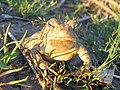 Fowler's Toad - Flickr - GregTheBusker (2).jpg
