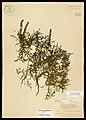Franseria caudata - Flickr - aspidoscelis.jpg