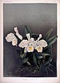 Frederick Sander - Reichenbachia II plate 81 (1890) - Cattleya trianae alba.jpg