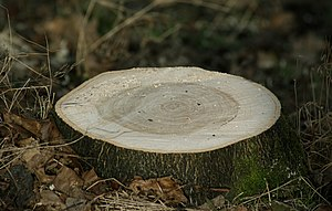 English: An image showing a tree stump aprox. ...