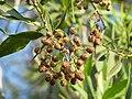 Fruit of Conocarpus lancifolius.jpg