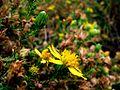 G20081018-2865--Deinandra minthornii (Syn. Hemizonia minthornii)--RPBG (10200076443).jpg