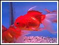 GFish (4444526085).jpg